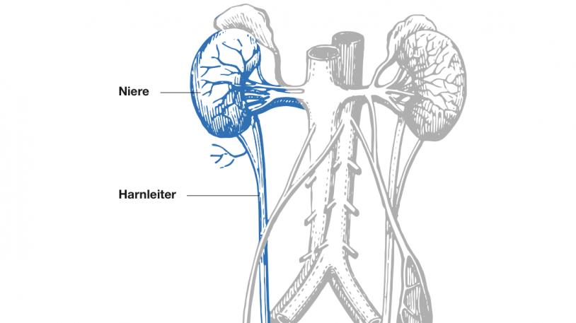 Die Niere: Funktion und Erkrankungen | TUM MRI